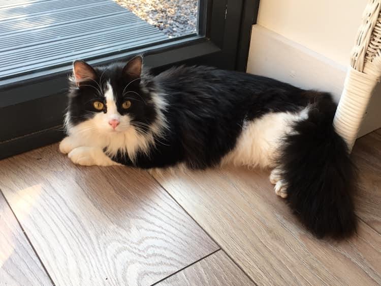 Oreo cat